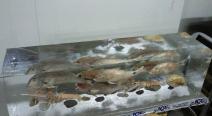 Frischfisch im Eisblock_2